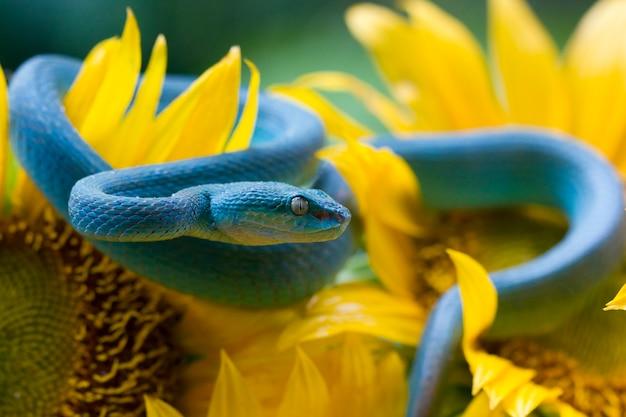 Blauwe adderslang klaar om aan te vallen, blauwe adder op zonnebloem