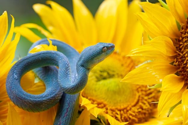 Blauwe adderslang op zonnebloemadderslang klaar om aan te vallen