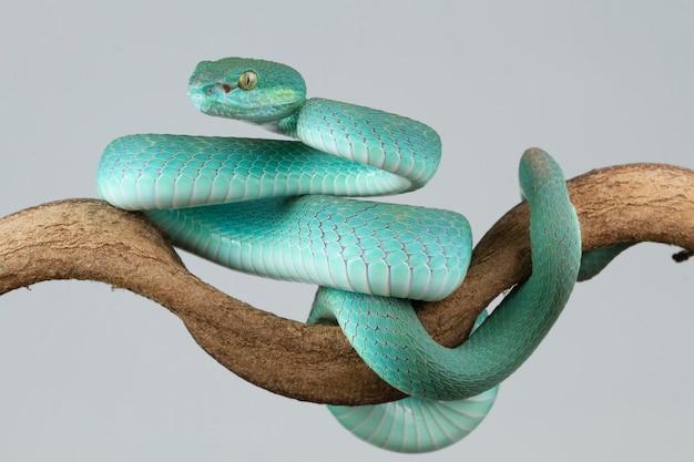 Blauwe adderslang zijaanzicht op tak met gachtergrond adderslang blauwe insularis trimeresururey