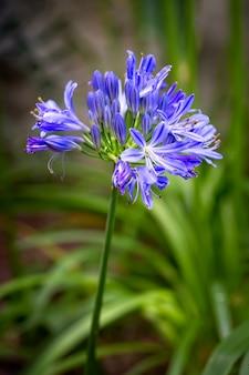 Blauwe agapanthus-africanus of afrikaanse leliebloem met een groene tuingebladerte vage achtergrond. - afbeelding