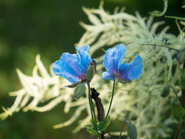 Blauwe bloem van meconopsis bailey, papaveraceae. bud van papaver.