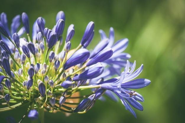 Blauwe bloemen en knoppen van afrikaanse lelie