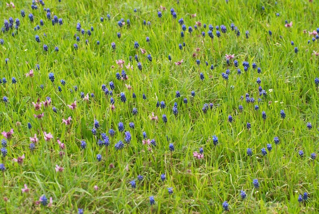 Blauwe bloemen hyacinthes op het groene gras