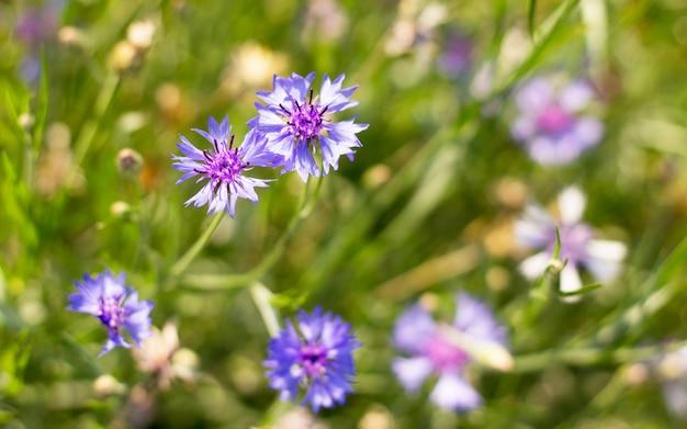 Blauwe bloemen in de tuin van blauwe bloemen natuur achtergrond