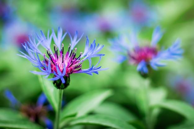 Blauwe bloemen korenbloem op achtergrond van groene vegetatie op een zonnige zomerdag