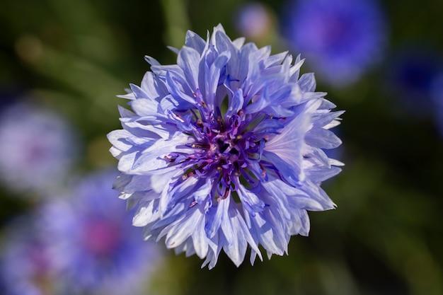 Blauwe bloemen van korenbloemen in het veld op groene achtergrond