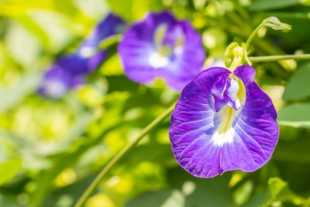Blauwe bloemen, vlindererwt.