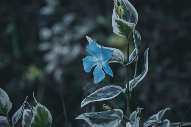Blauwe bloemplant in de tuin in het voorjaar