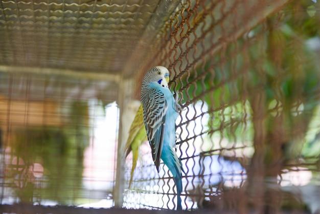 Blauwe budgie huisdierenvogel of grasparkietparkiet gemeenschappelijk in het landbouwbedrijf van de kooivogel Premium Foto