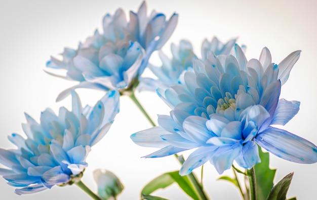 Blauwe chrysant