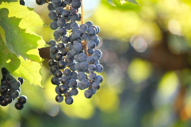 Blauwe druiventak groeit in de wijngaard in de herfsttuin.