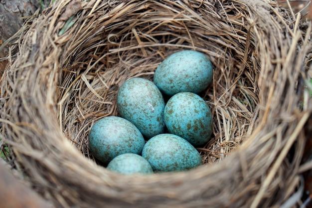 Blauwe eieren van een wilde vogellijster die in het nest ligt dat op de ptine-boom buiten wordt gevestigd