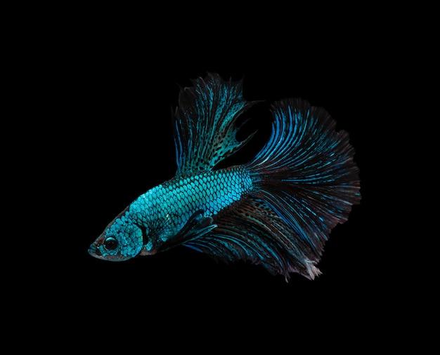 Blauwe en bruine halve maan siamese vechten vis geïsoleerd op zwarte achtergrond