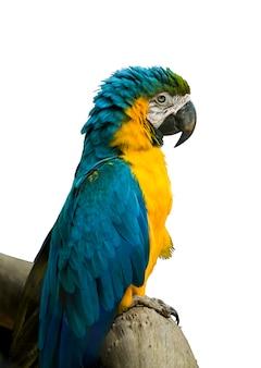 Blauwe en gele ara op een witte achtergrond.