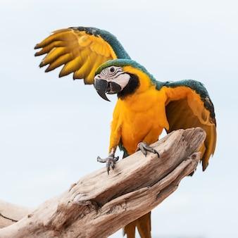 Blauwe en gele ara papegaai (ara ararauna)