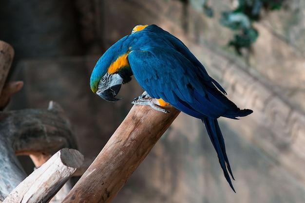 Blauwe en gele ara papegaai