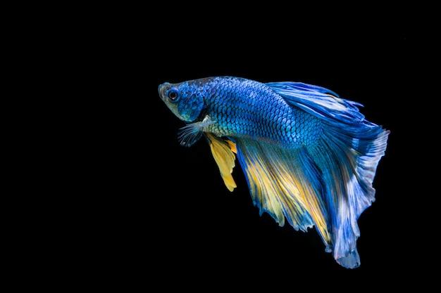 Blauwe en gele bettavissen, siamese het vechten vissen op zwarte achtergrond