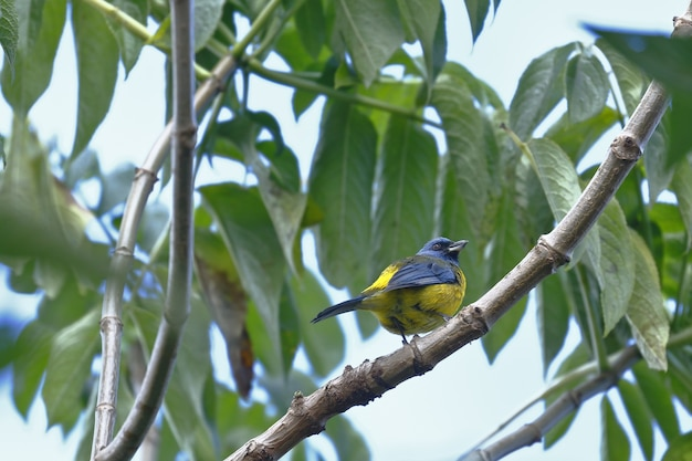 Blauwe en gele die tanager op een tuintak wordt neergestreken