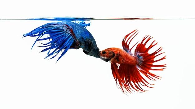 Blauwe en rode bettavissen, vechtende vissen die op witte achtergrond worden geïsoleerd