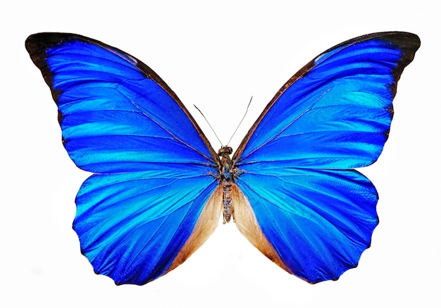 Blauwe geïsoleerde vlindermorfo anaxibia