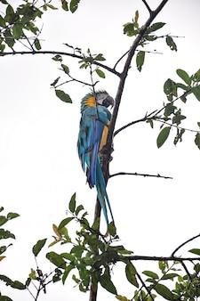 Blauwe gele ara op een boomtak
