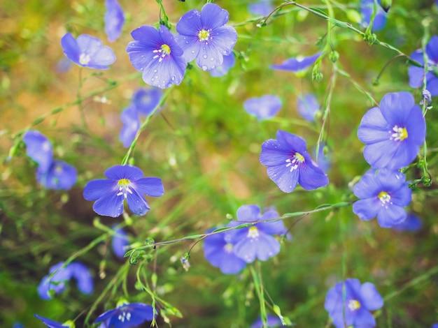 Blauwe geranium bloeit met regendruppels in de voortuin of tuin.