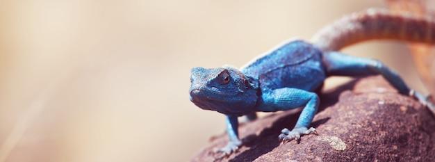 Blauwe hagedis in de namib-woestijn