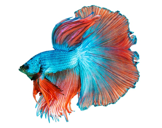 Blauwe halfmoon betta-vis