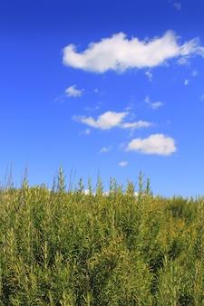 Blauwe hemel van het rosmery de mediterrane landschap