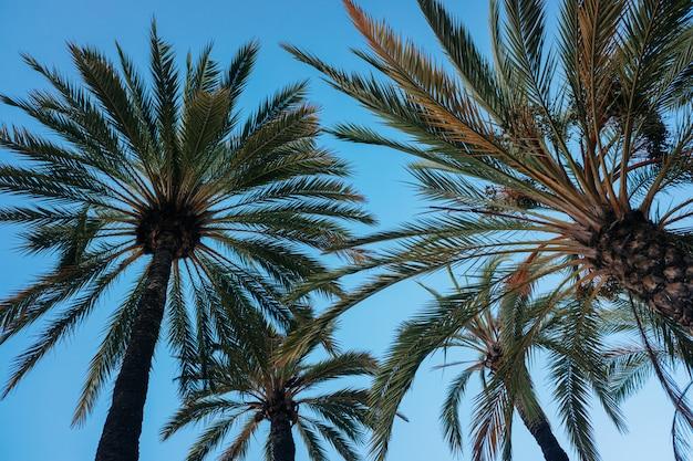 Blauwe hemelachtergrond met het silhouet van sommige tropische palmen bij zonsondergang die wordt gezien van onderaan.