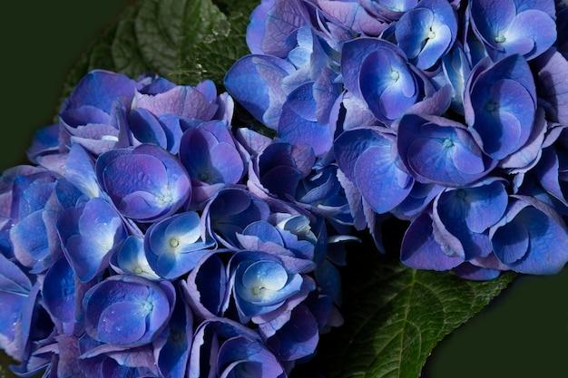 Blauwe hortensia bloem hydrangea macrophylla in de tuin, zomer achtergrond,