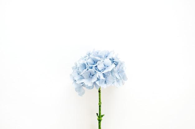Blauwe hortensia bloem op wit oppervlak