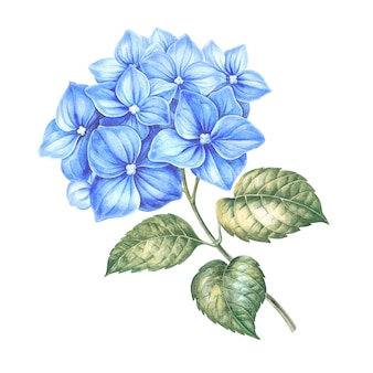 Blauwe hortensia bloemen.
