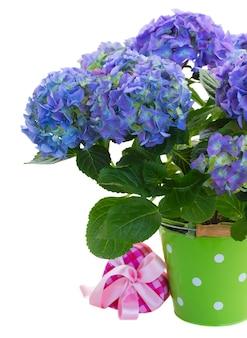 Blauwe hortensia flowersin groene pot met geschenkdoos geïsoleerd op witte ruimte