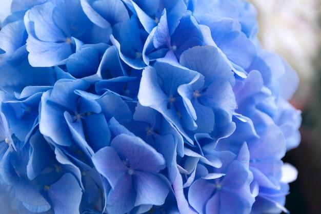 Blauwe hortensia. hortensia bloemen komen naar boven.