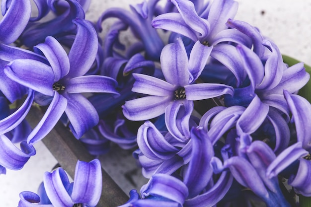 Blauwe hyacint bloemen, macro, close-up, horizontaal formaat.