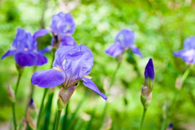 Blauwe irisbloemen op groene tuin