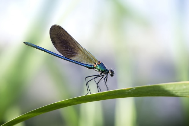 Blauwe juffers op een blad in een tuin onder zonlicht met een onscherpe achtergrond