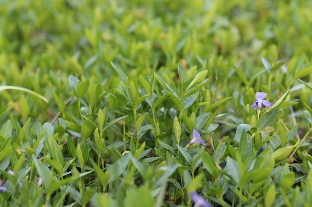 Blauwe kleine rustgevende bloemen als een prachtige groene achtergrond