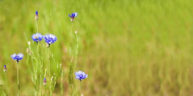 Blauwe korenbloem (centaurea-cyanus) bloemen op een achtergrond van mooi avondlicht. de macro, selectieve nadruk van de wildflowerkorenbloem. kopieer ruimte voor tekst. banner.