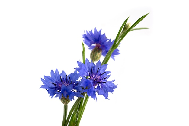Blauwe korenbloem (centaurea cyanus) op een witte achtergrond. poster.