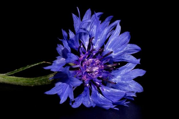 Blauwe korenbloem (centaurea cyanus) op een zwarte achtergrond. poster.