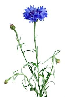 Blauwe korenbloem geïsoleerd op de witte achtergrond