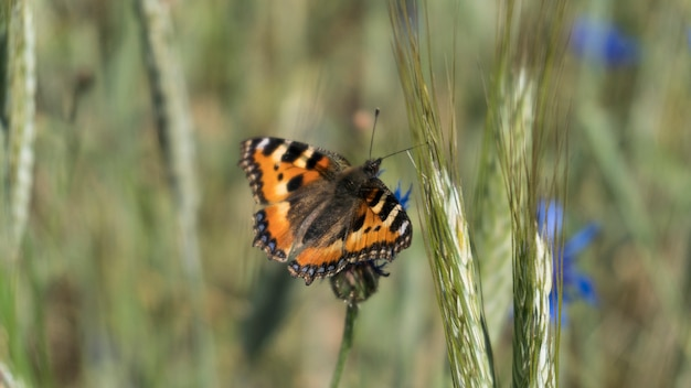 Blauwe korenbloem met vlinder in het veld op een warme zomerdag