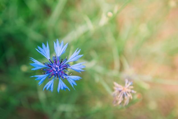 Blauwe korenbloem op zomer gras achtergrond. veld kruiden bloemen.