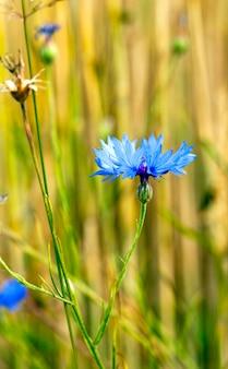 Blauwe korenbloemen groeien in een veld. kleine scherptediepte