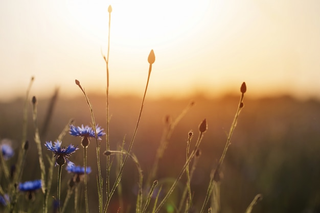 Blauwe korenbloemen in tarweveld op zonsondergang