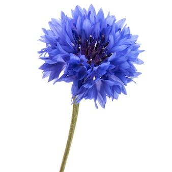 Blauwe korenbloemkruid of vrijgezellenknop bloemhoofd geïsoleerd knipsel