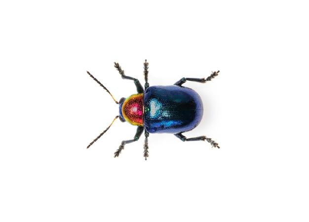Blauwe kroontjeskruid kever het heeft blauwe vleugels en een rode kop geïsoleerd. insect. dier.