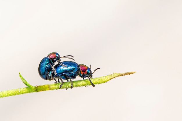 Blauwe kroontjeskruid kever het heeft blauwe vleugels en een roodharige paar bedrijft de liefde. insect. dier.